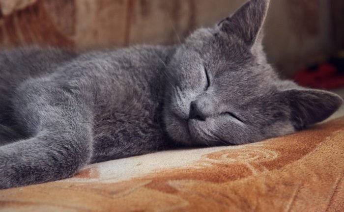 top 5 Thoughts a Cat Thinks Daily - Sleep
