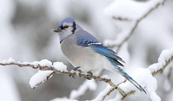 Top 5 Birds You Can Spot in Your Backyard - Blue Jay